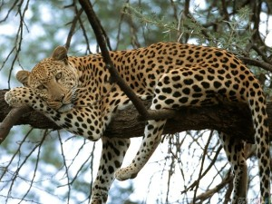 thumb3_leopard_relaxing_in_a_tree_after_lunch